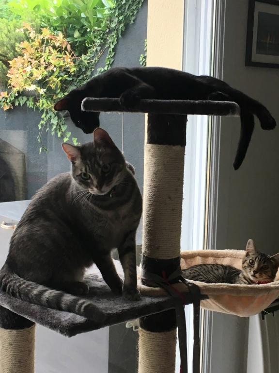 Félix, chat gris tigré, né le 30 juin 2017. 885d4f10