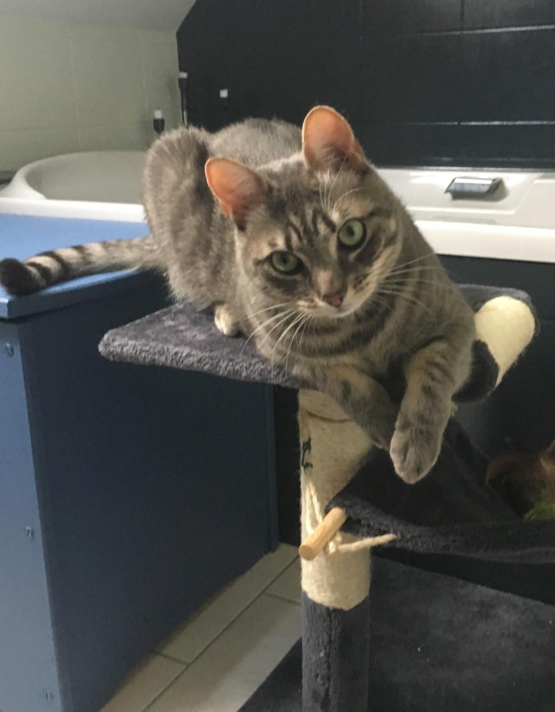 Félix, chat gris tigré, né le 30 juin 2017. 9205a810