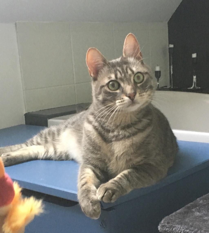 Félix, chat gris tigré, né le 30 juin 2017. A3d1ef10