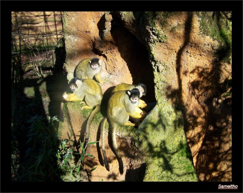 Le saimiris à tete noire (Saimiri boliviensis) Zoo_le13