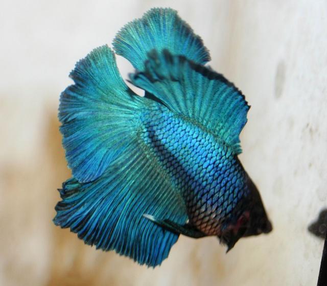 Mâle Turquoise Queue-double 30210