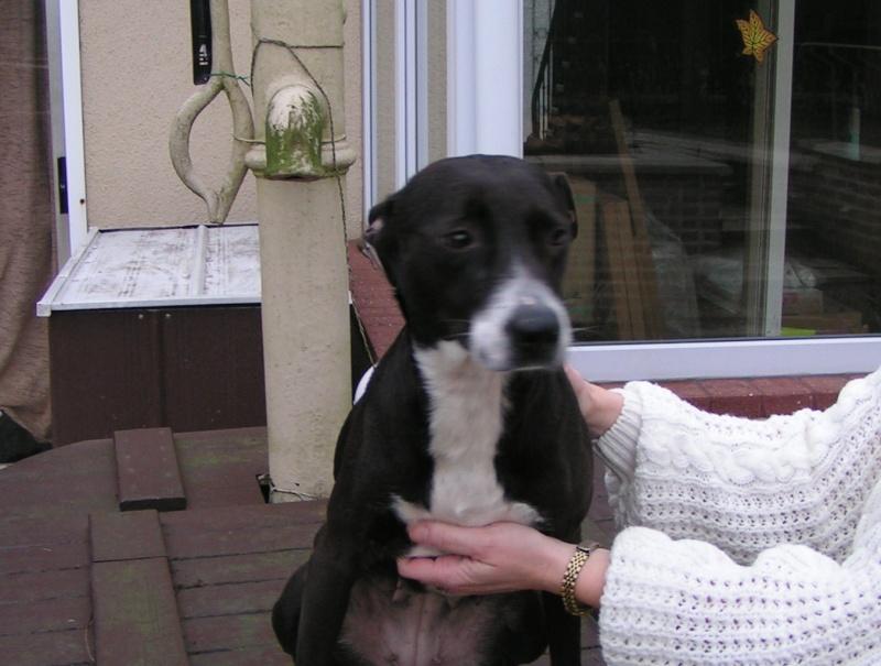 ANYA  Staff X Labrador, femelle  4 ans Pict0014