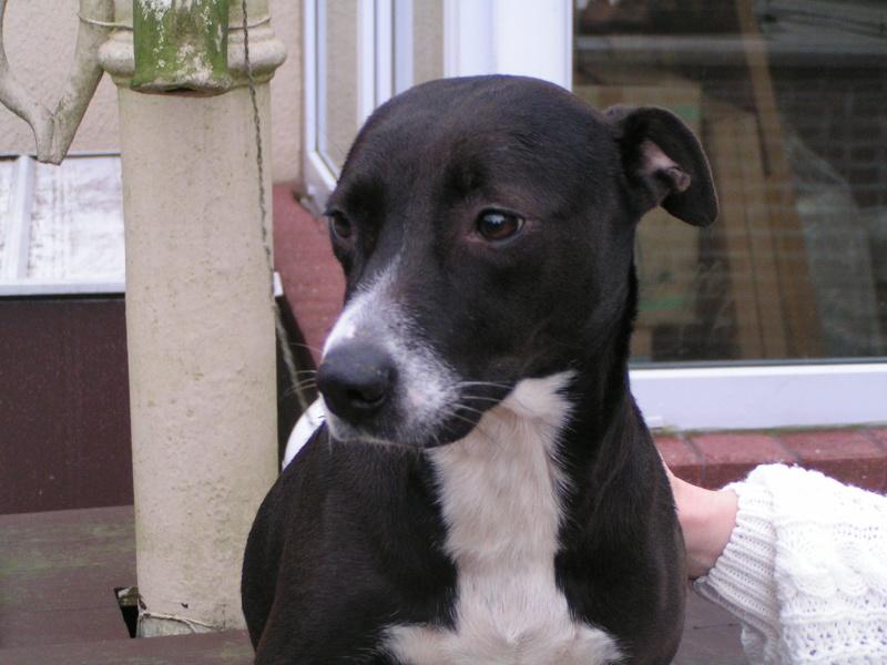 ANYA  Staff X Labrador, femelle  4 ans Pict0015