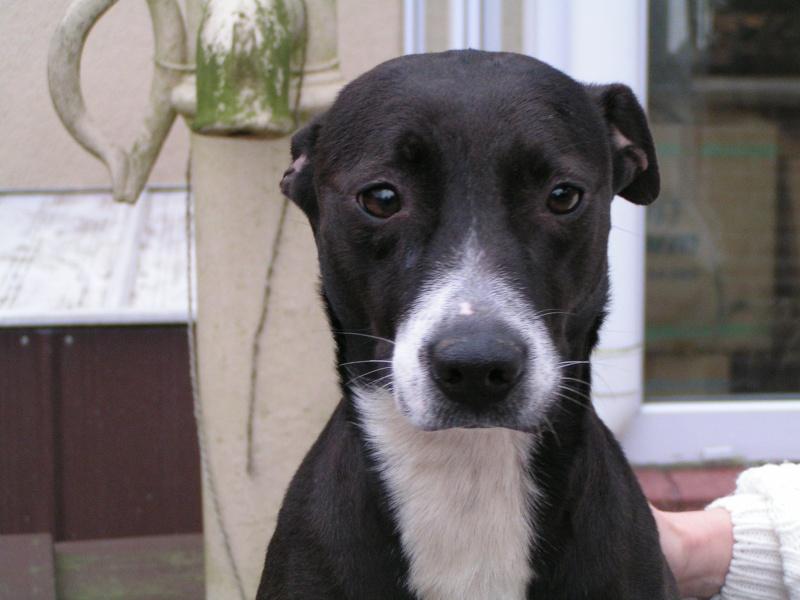 ANYA  Staff X Labrador, femelle  4 ans Pict0016