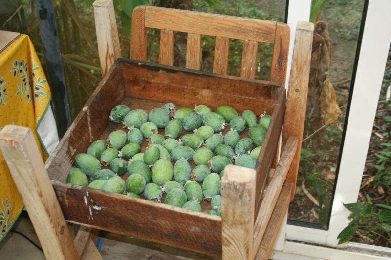 Feijoa, la récolte a commencé Acca_s10