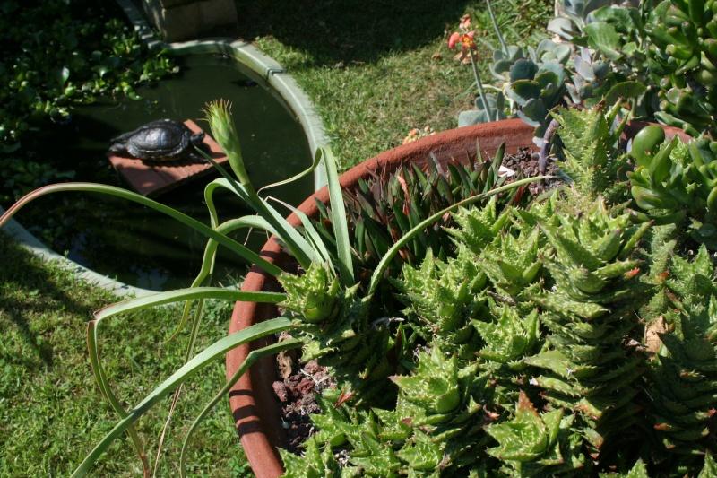 Aloe cooperi, promesse de fleurs Aloe_c10
