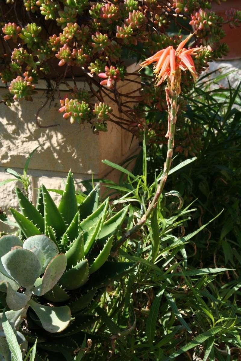 Aloe mitriformis en fleurs Aloe_m13