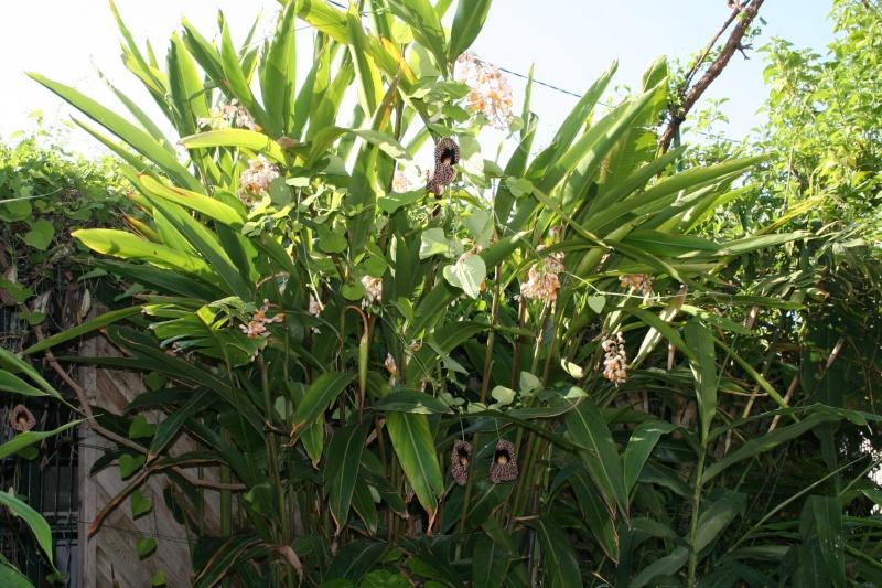 Alpinia zerumbet, une vraie mauvaise herbe dans mon climat Alpini13