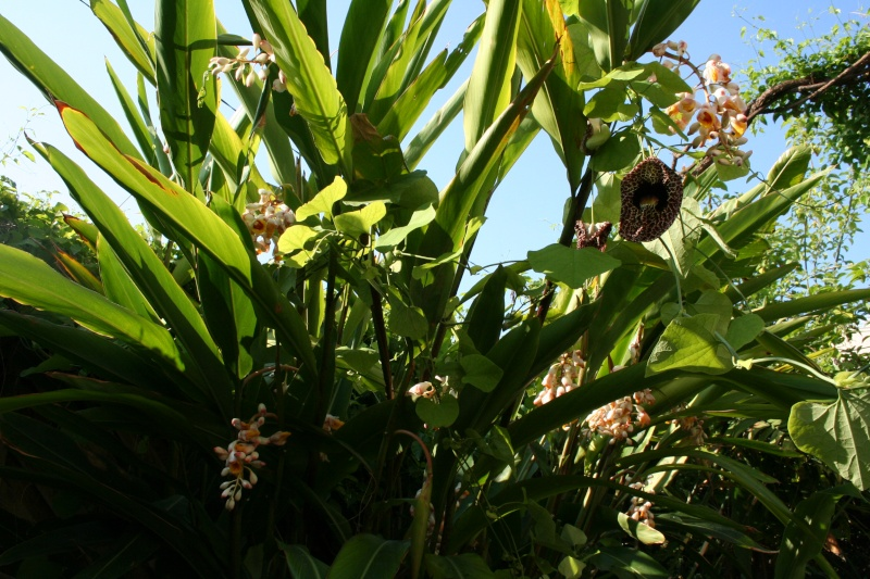 Alpinia zerumbet en pleine floraison Alpini18