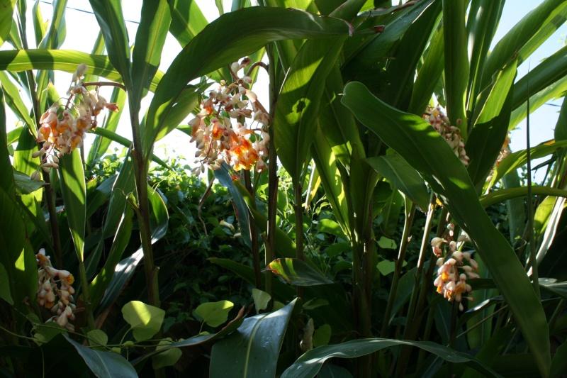 Alpinia zerumbet en pleine floraison Alpini19