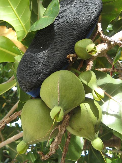 recherche le nom de l'arbre [Barringtonia neocaledonica] Barrin11