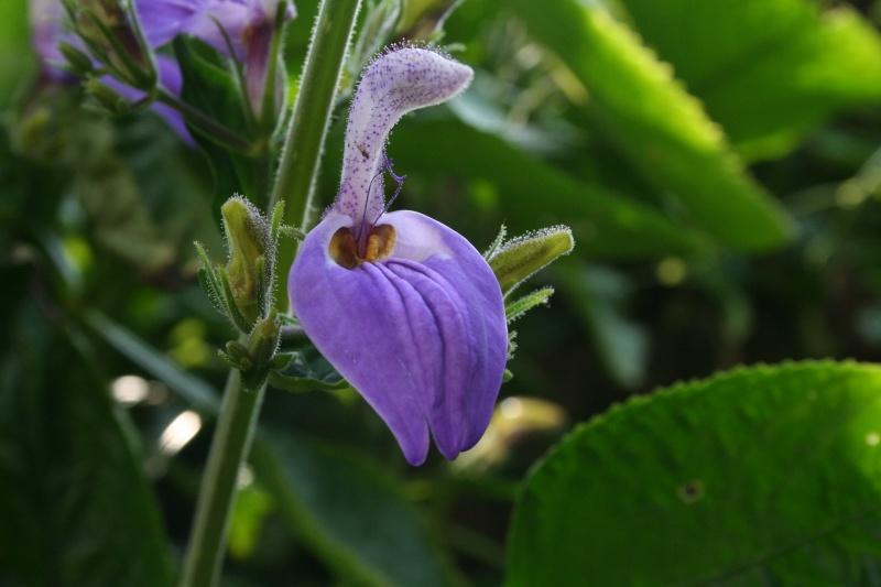 Brillantaisia subulugurica, une Acanthacée géante Brilla13