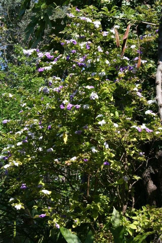 Brunfelsia plicata Brunfe10