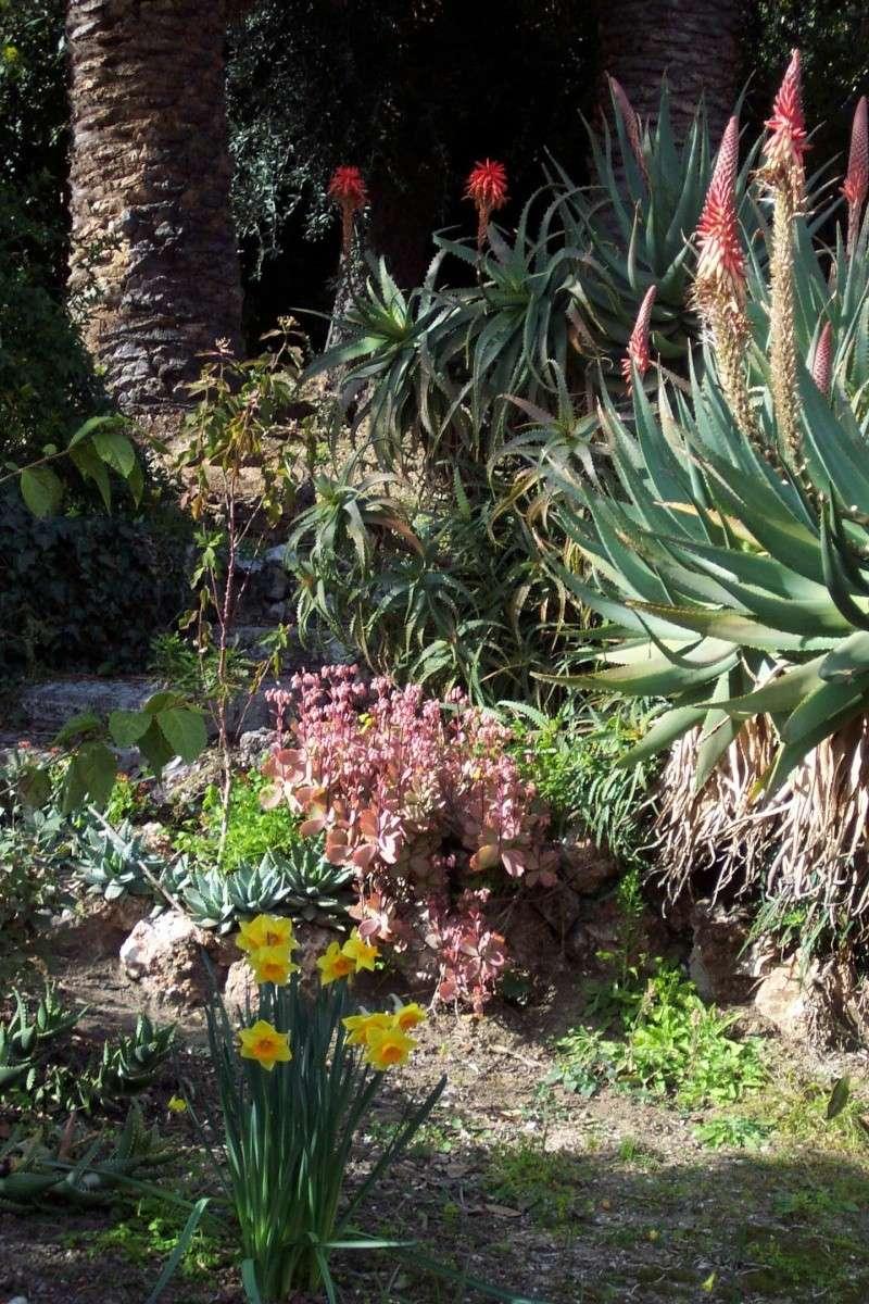 Aloe sp X mitriformis? Chez_h11