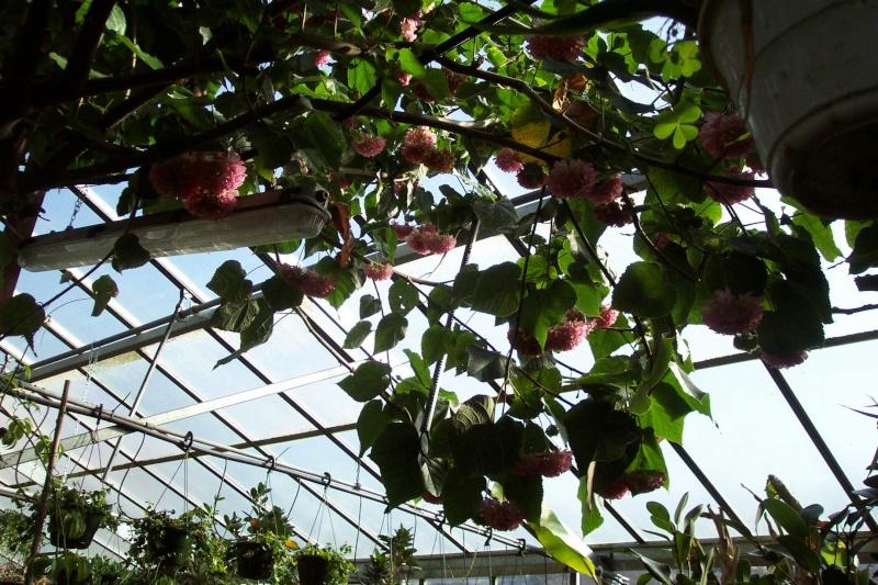 Un trés joli arbuste tropical Chez_n12