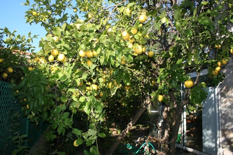 Des citrons en veux tu , en voilà Citron13