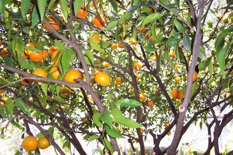 Des citrons en veux tu , en voilà Citrus10