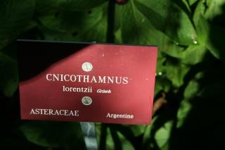Cnicothamnus lorentzii, superbe Asteracée bolivienne Cnicot12