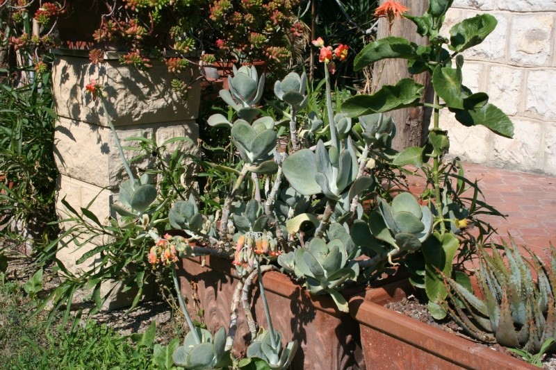 "Cotyledon orbiculata, dit "" Le Variable "" !! Cotyle10"