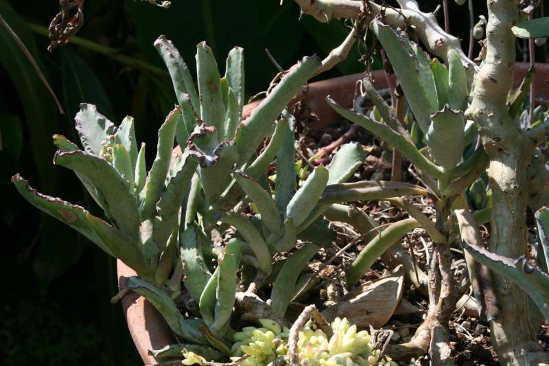 "Cotyledon orbiculata, dit "" Le Variable "" !! Cotyle13"
