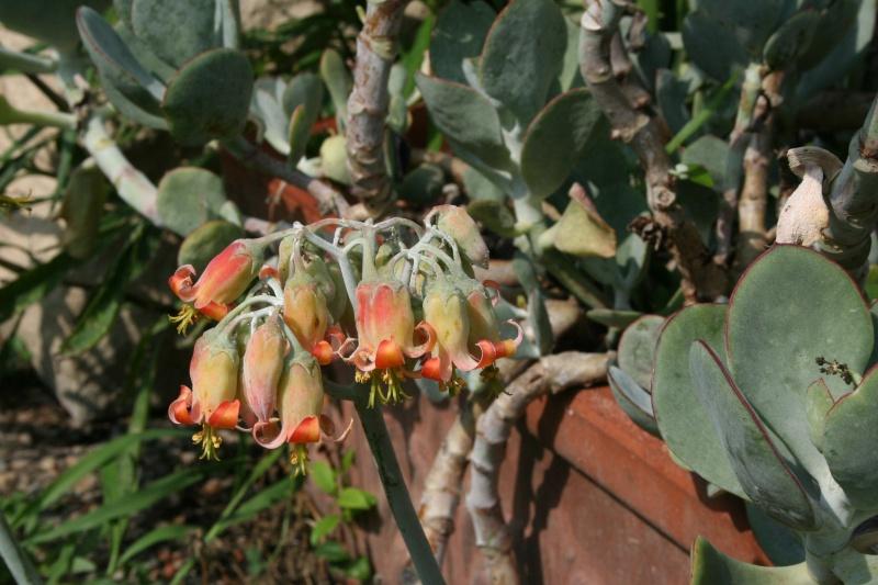 Cotyledon orbiculata var undulata en fleurs : Cotyle19