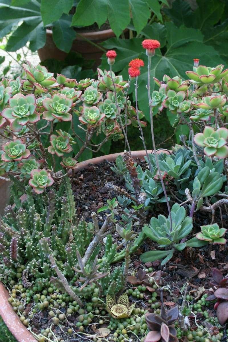 Stapelia variegata en extérieur Coupe_15