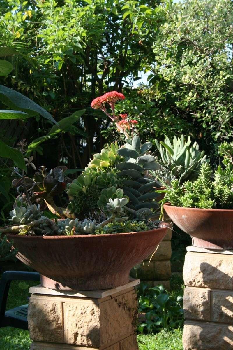 Crassula perfoliata var falcata en pleine floraison Crassu14