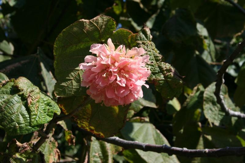 Un trés joli arbuste tropical Dombey10