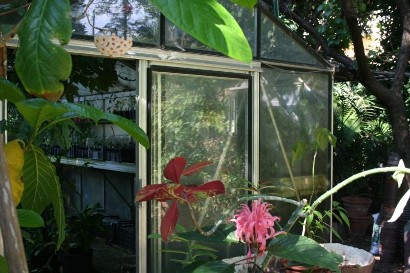 Hoya carnosa, très commune, mais rarement vue en pleine terre Entrae10