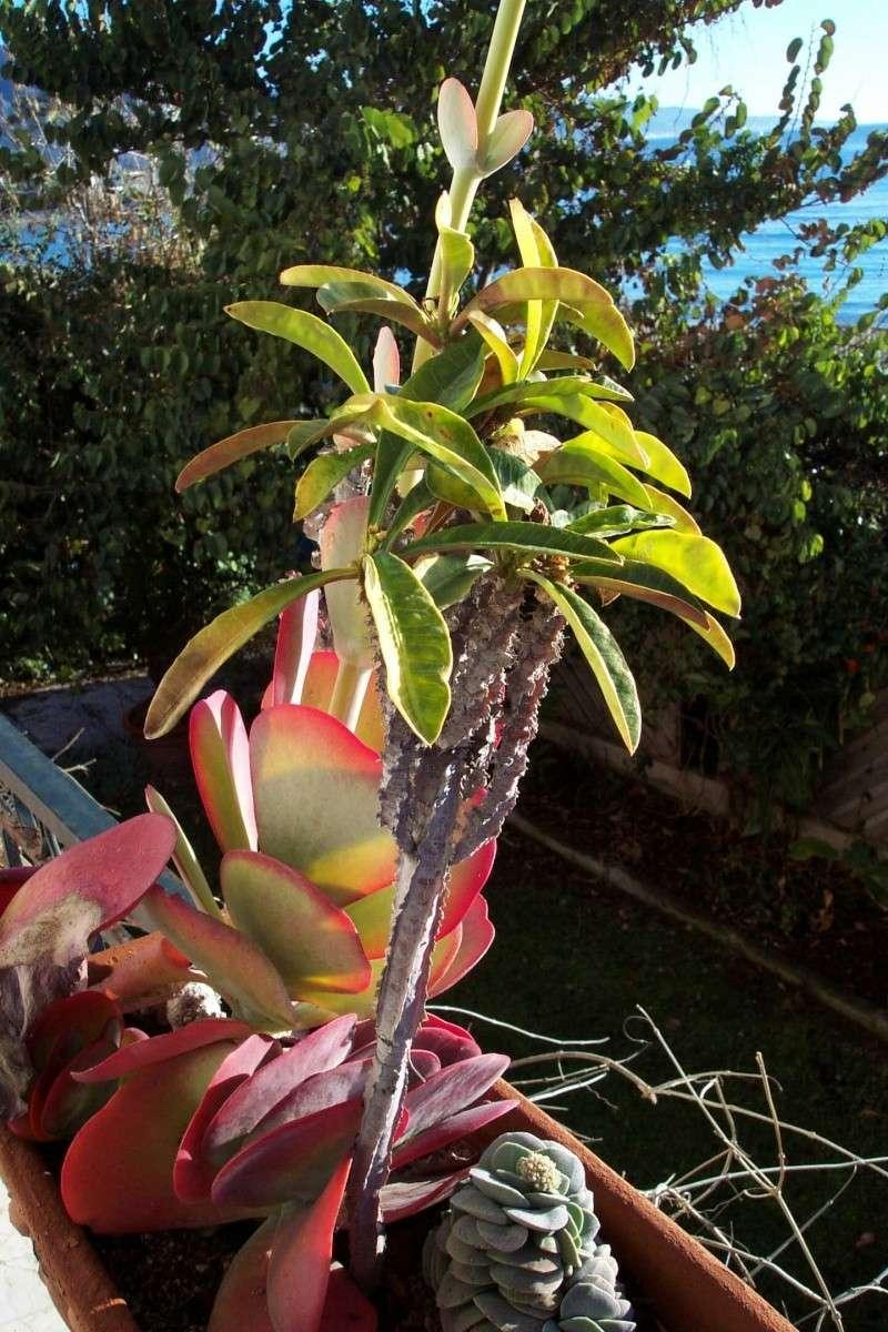 Euphorbia madagascarensis  Euphor13