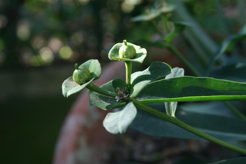 Euphorbia bubalina Euphor14