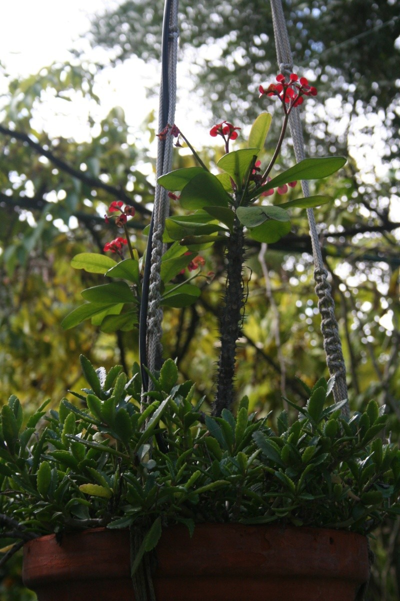 Vrai fleur d'Euphorbia milii Euphor18