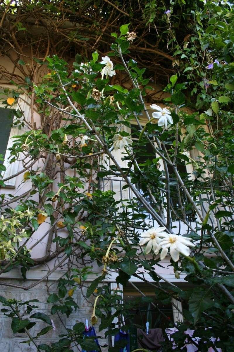 Gardenia thunbergia Garden14
