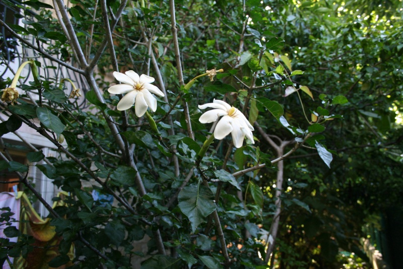 Gardenia thunbergia Garden16
