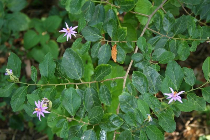 Mieux vaut tard que jamais : Grewia flavescens Grewia12