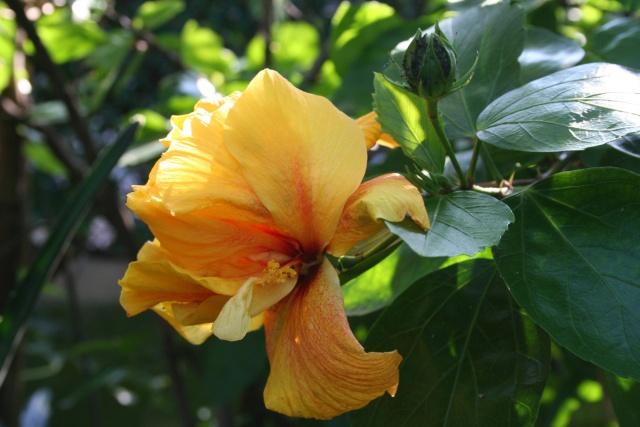Rapide tour de jardin en ce 1 er octobre Hibisc13