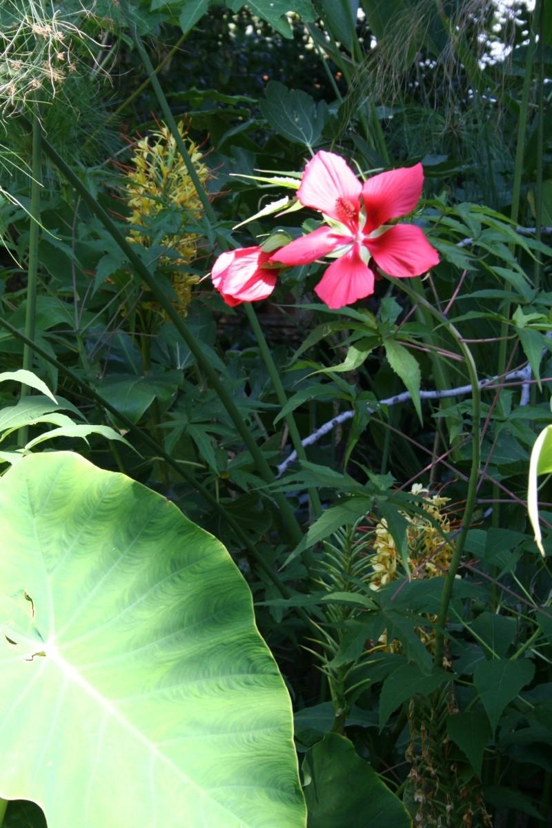 Hibiscus coccineus sur fond d'Hedychium Hibisc20