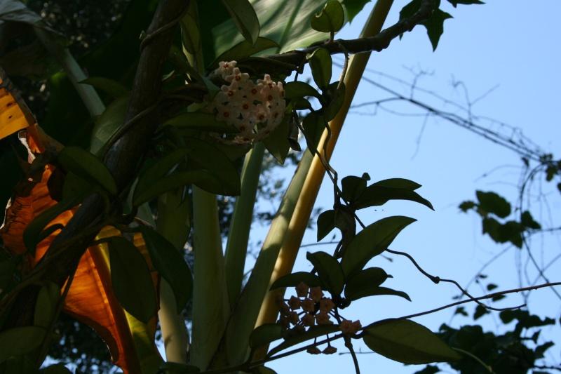 Hoya carnosa, très commune, mais rarement vue en pleine terre Hoya_c11