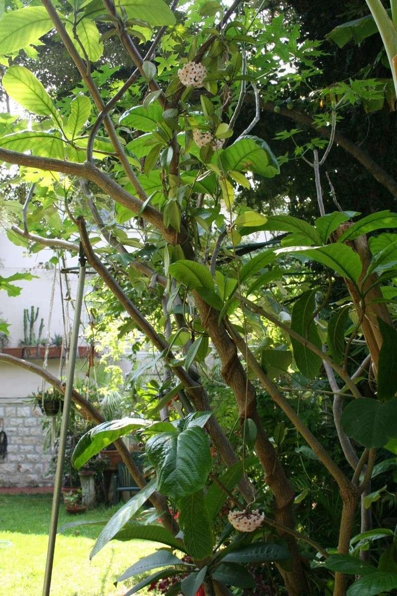Hoya carnosa, très commune, mais rarement vue en pleine terre Hoya_c13