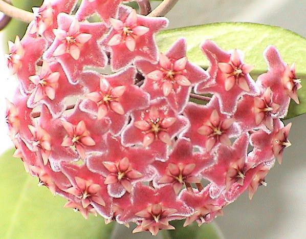 Hoya publicalyx Hoya_p10