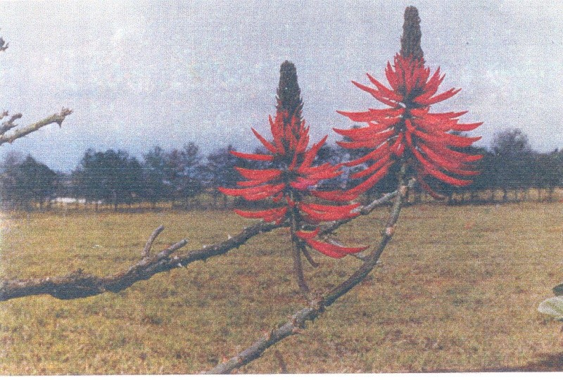 Erythrina speciosa Img17810