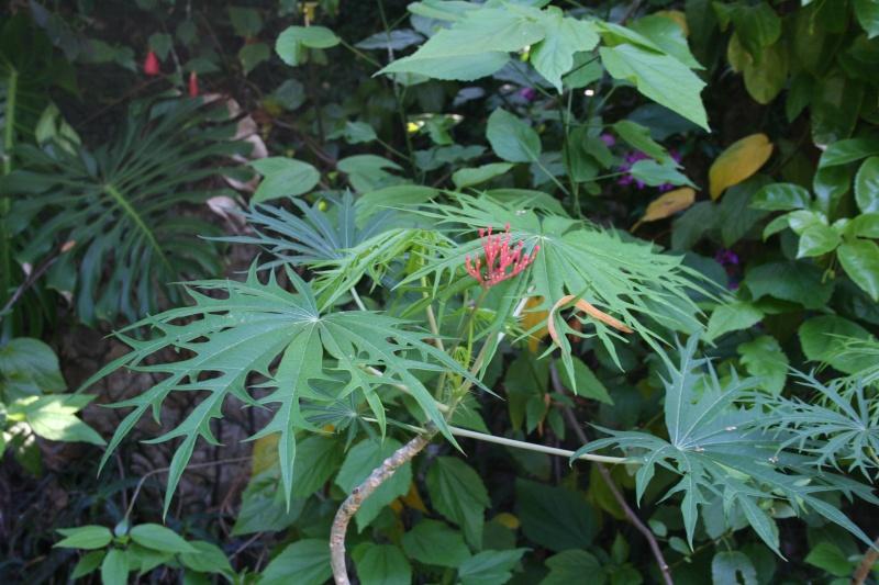 Deux cousines aux feuilles découpées Jatrop17