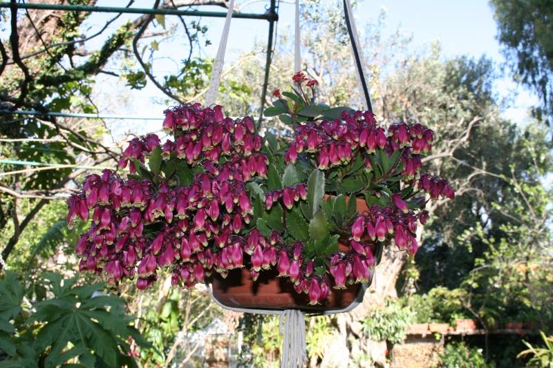 Vrai fleur d'Euphorbia milii Kalanc14