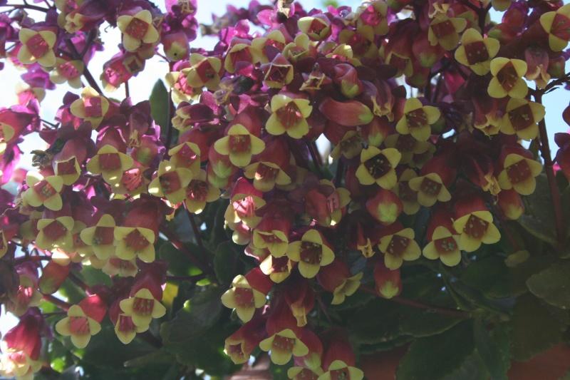 Vrai fleur d'Euphorbia milii Kalanc16