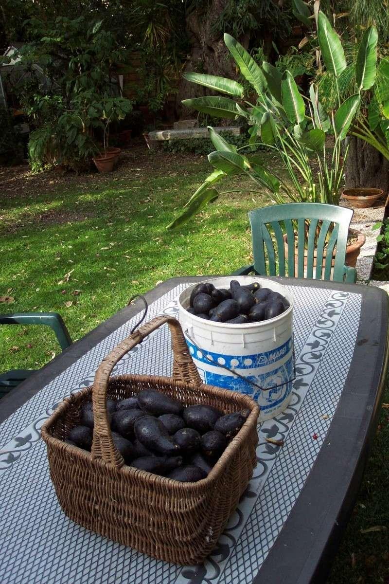 AVOCATIER et fruits Mirazu12