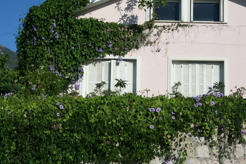Quelques thunbergia en fleurs en ce moment Mur_de11