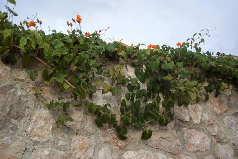 Quelques thunbergia en fleurs en ce moment Mur_du10