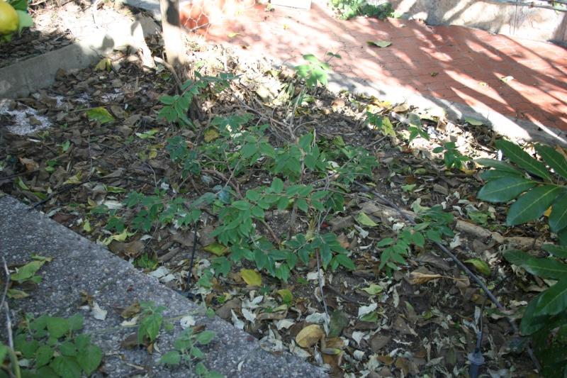 Myrciaria cauliflora ou Jaboticaba Myrcia10