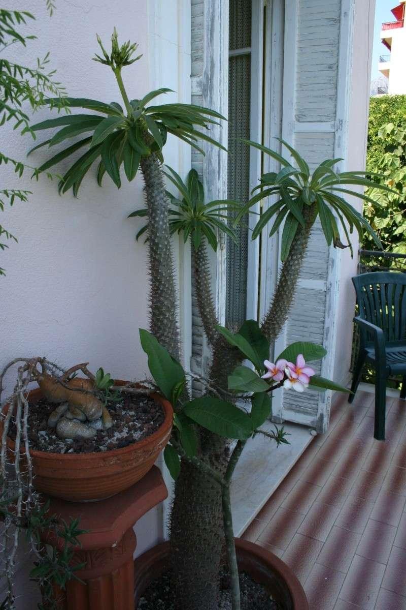 Pachypodium lamerei bientot en fleurs Pachyp12
