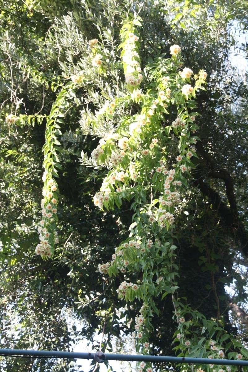 Encore quelques fleurs au jardin Peresk17